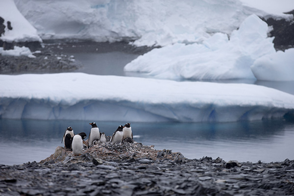 A group of penguins fighting for survival