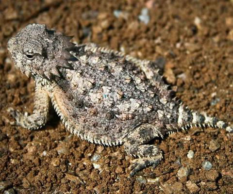 The Horned Lizard