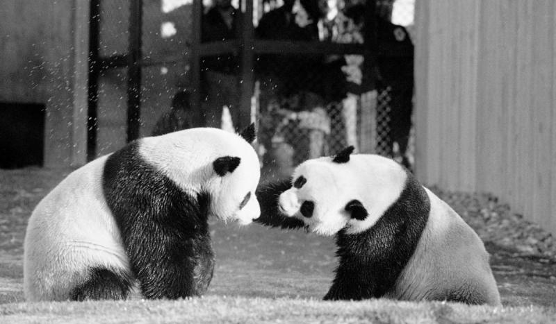 China sent President Nixon two giant pandas as a gift.